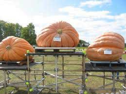 giant pumpkin winners